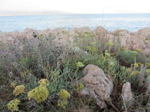 Flora along the Sentier du Littoral on Cap d'Antibes
