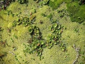 Unique Moss, Isla Gable, Tierra del Fuego, Argentina