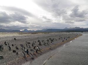 Penguin Rookery, Isla Martillo, Tierra del Fuego, Argentina