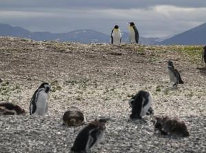Emperor Penguins, Isla Martillo, Tierra del Fuego, Argentina