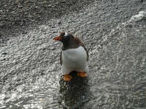 Gentoo Penguin, Isla Martillo, Tierra del Fuego, Argentina